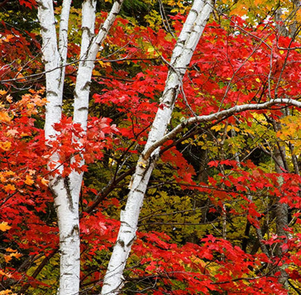 Birch and Maple along he Swift River in New Hampshire.   Places like this always remind me that there is still hope.  Maybe its not true that  the 1960s were the beginning of the end.