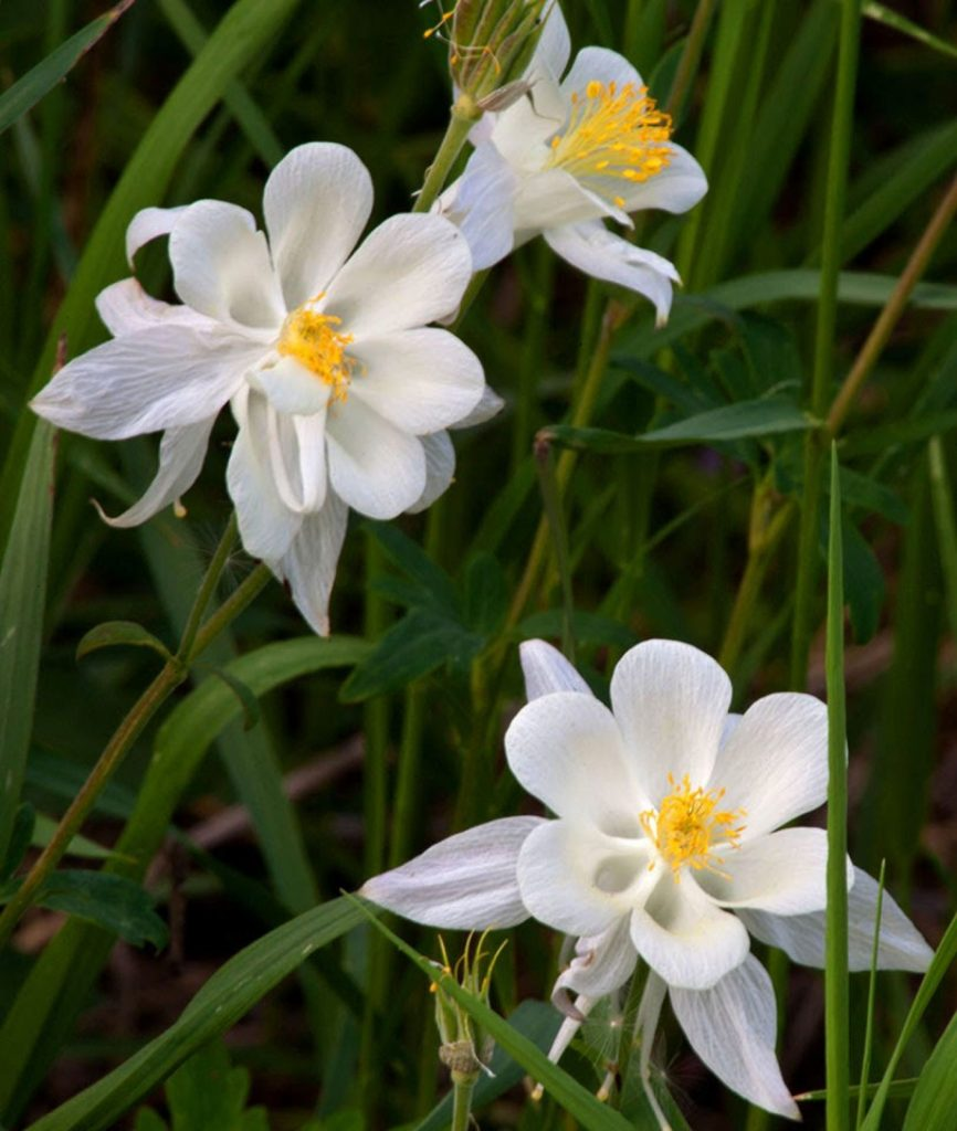 White Columbine on Teton Pass in Wyoming.   Places like this always remind me that there is still hope.  Maybe its not true that  the 1960s were the beginning of the end.