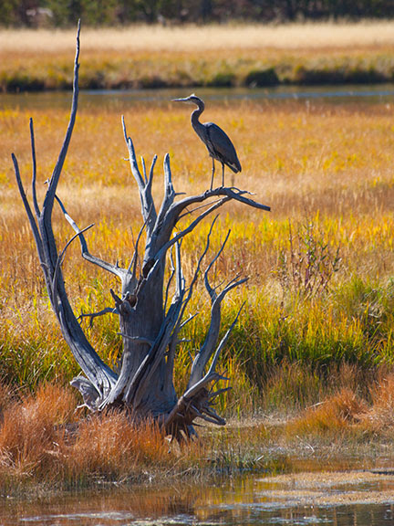 Heron in Yellowstone National Park in Wyoming