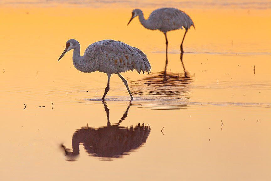 Sand Hill Cranes in New Mexico.  Why are we letting the world burn when we need to be saving places like this.