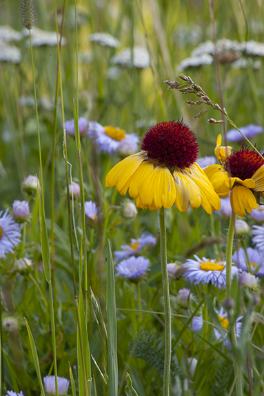 Rudbeckia and Showy Dasies in  Glacier National Park