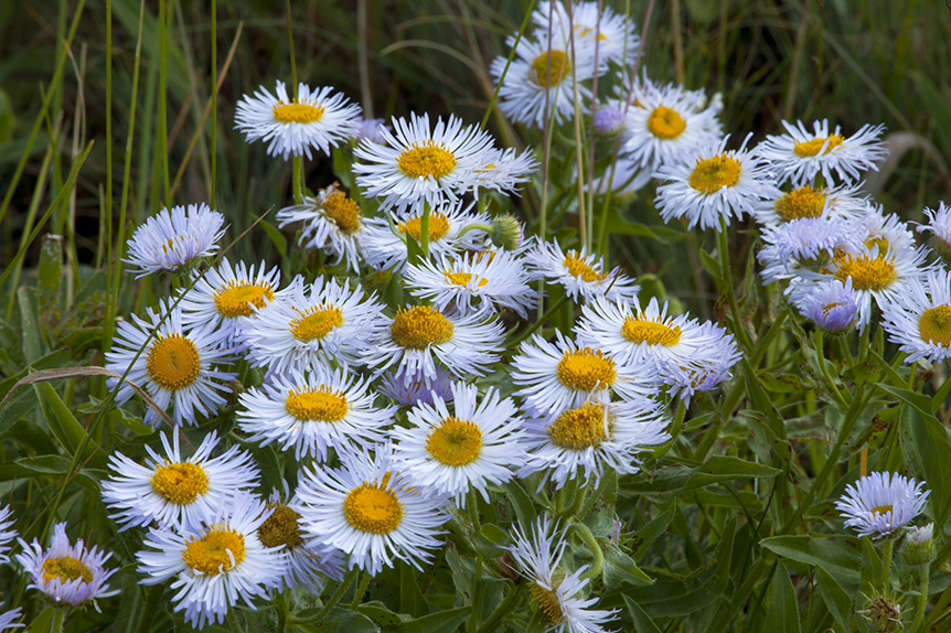 Showy Daisies in Glacier National Park