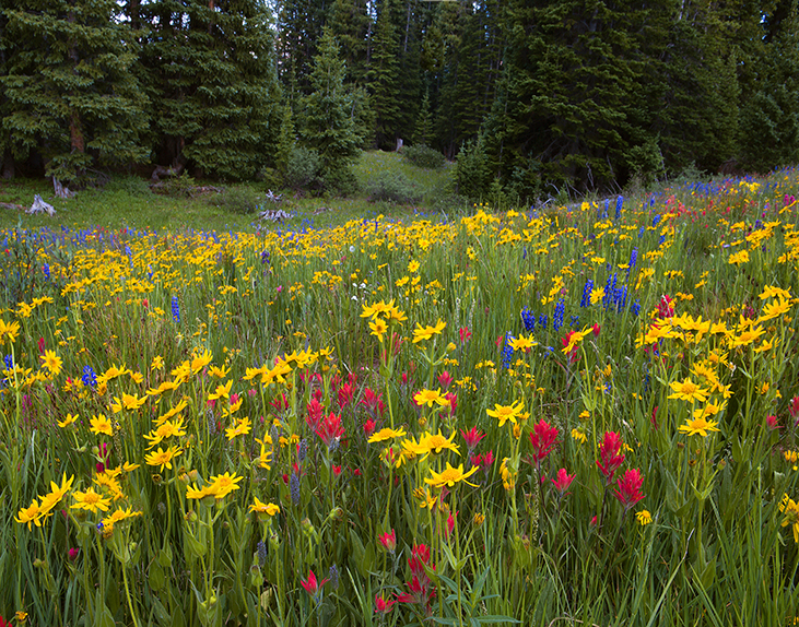 Wildflowers on Shrine Pass, near Breckenridge, Colorado.  A long way from the Wasted lives and billions of dollars lost in the Iraq War.