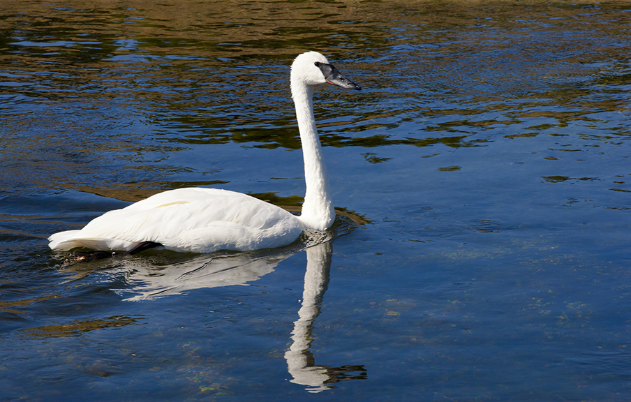 Trumpeter Swan on Madison River in Yellowstone National Park.