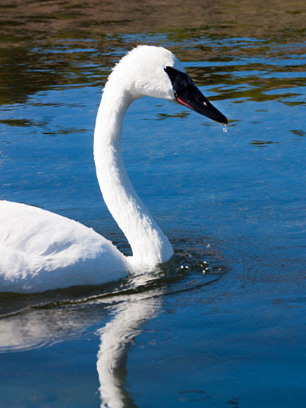 Trumpeter Swan in Yellowstone.  If not for Yellowstone, Trumpeter Swans  would almost certainly be extinct now. Wildlife is going extinct everywhere.