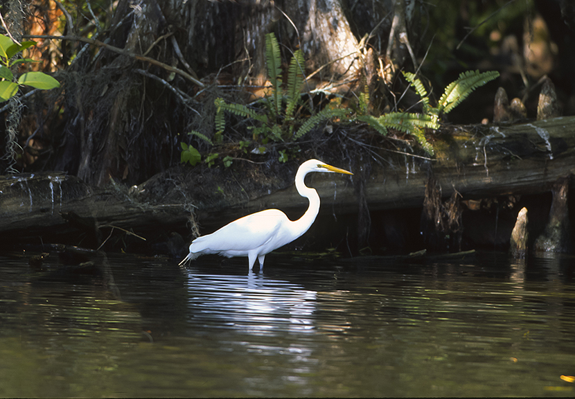White egret in Everglades National Park.  The Everglades are very much  a part of the beauty of our endangered earth.