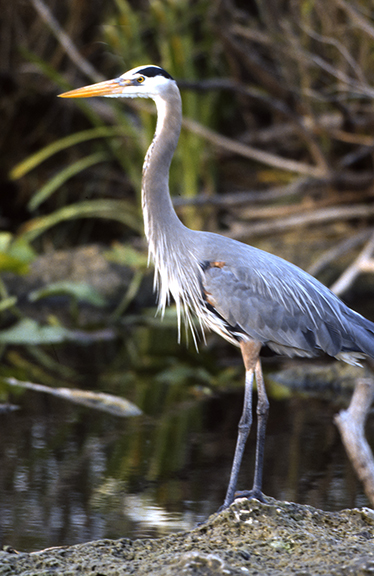Heron in Everglades National Park in Florida