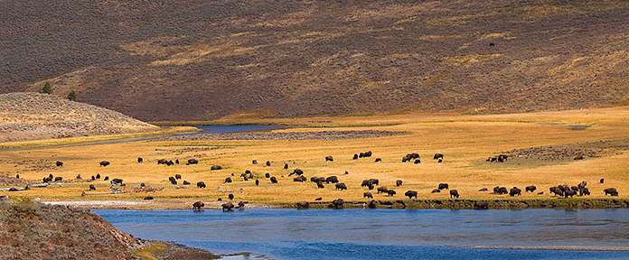 Large Buffalo herd in Yellowstone.  Without Yellowstone would we even have buffalo these days?  Wildlife is going extinct everywhere.  And Buffalo came to the very edge of extinction in the late 19th century.