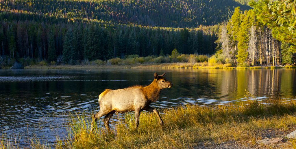 Elk yearling in Rocky Mountain National park in Colorado.   Looking at this scene you feel the the central message of this book.  The Moth Snowstorm: a powerful tale of extinction.