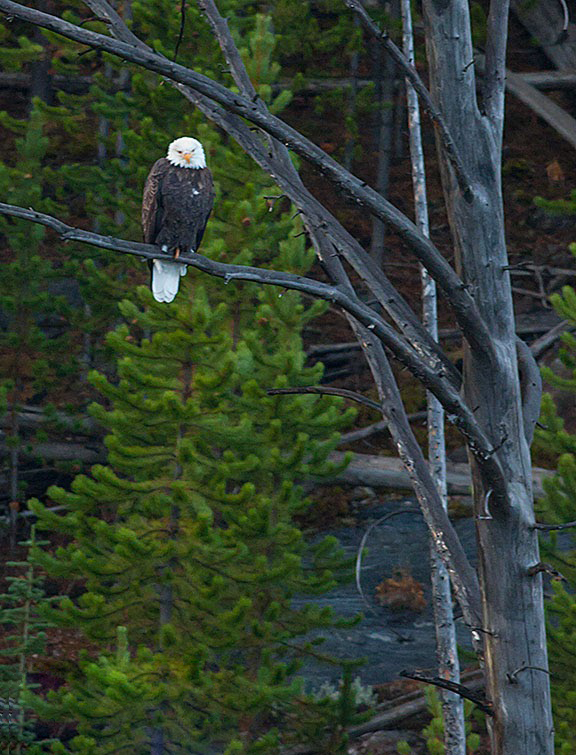Bald eagle in Yellowstone.  Bald eagles are another bird that has come very close to extinction.  The eagle was lucky.  Wildlife is going extinct all over the world