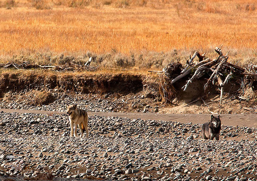 Wolves along the Lamar  River in Yellowstone.  Two of a very small pack still alive in Yellowstone.  They also are lucky in a world where wildlife is going extinct.