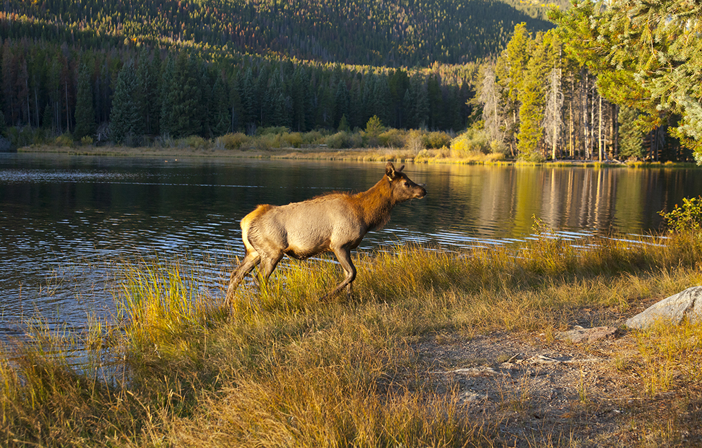 Elk Yearling at Sprague Lake. in Rocky Mountain National park in Colorado.