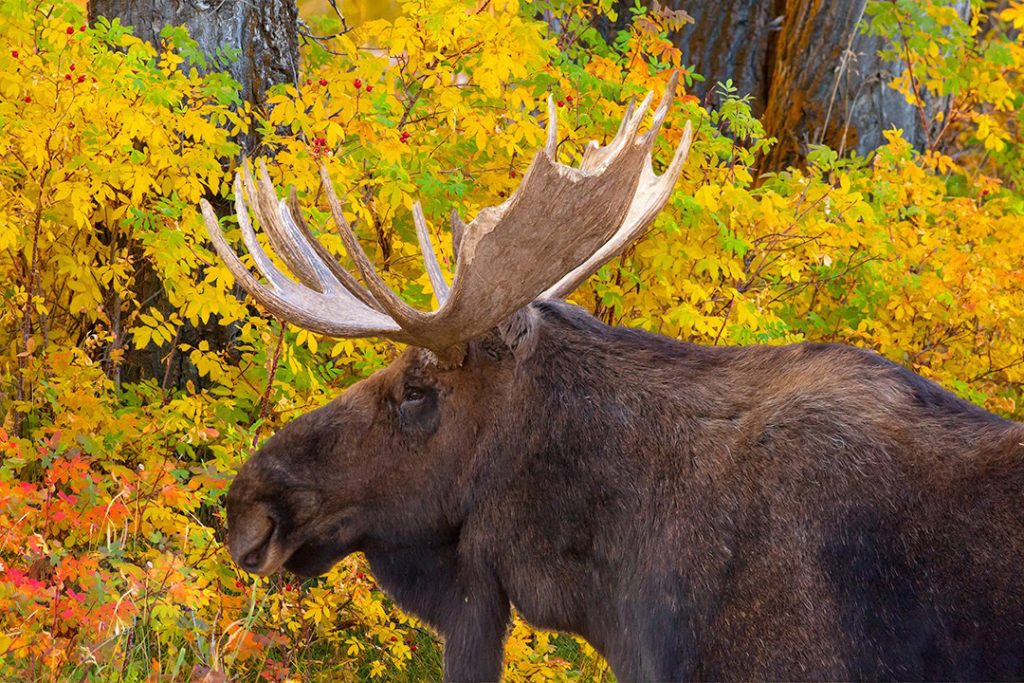 Bull Moose in the Tetons.  This is one of my many Pictures of Wildlife.