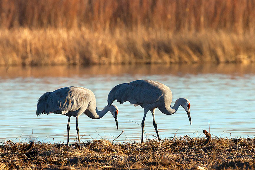 Sandhill Cranes in Bosque del Apache in New Mexico.  Wildlife is going extinct and Sanhills came very close to a species that didn't make it.