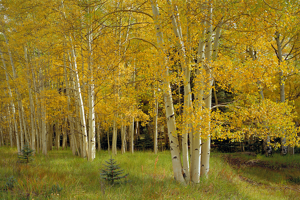 Aspens on Poncha Pass in Colorado.  Our Future on a Hotter Planet would not include this scene.