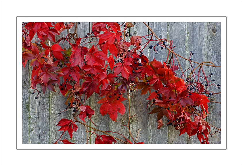 Red leaves and fence in Stonnington, Maine