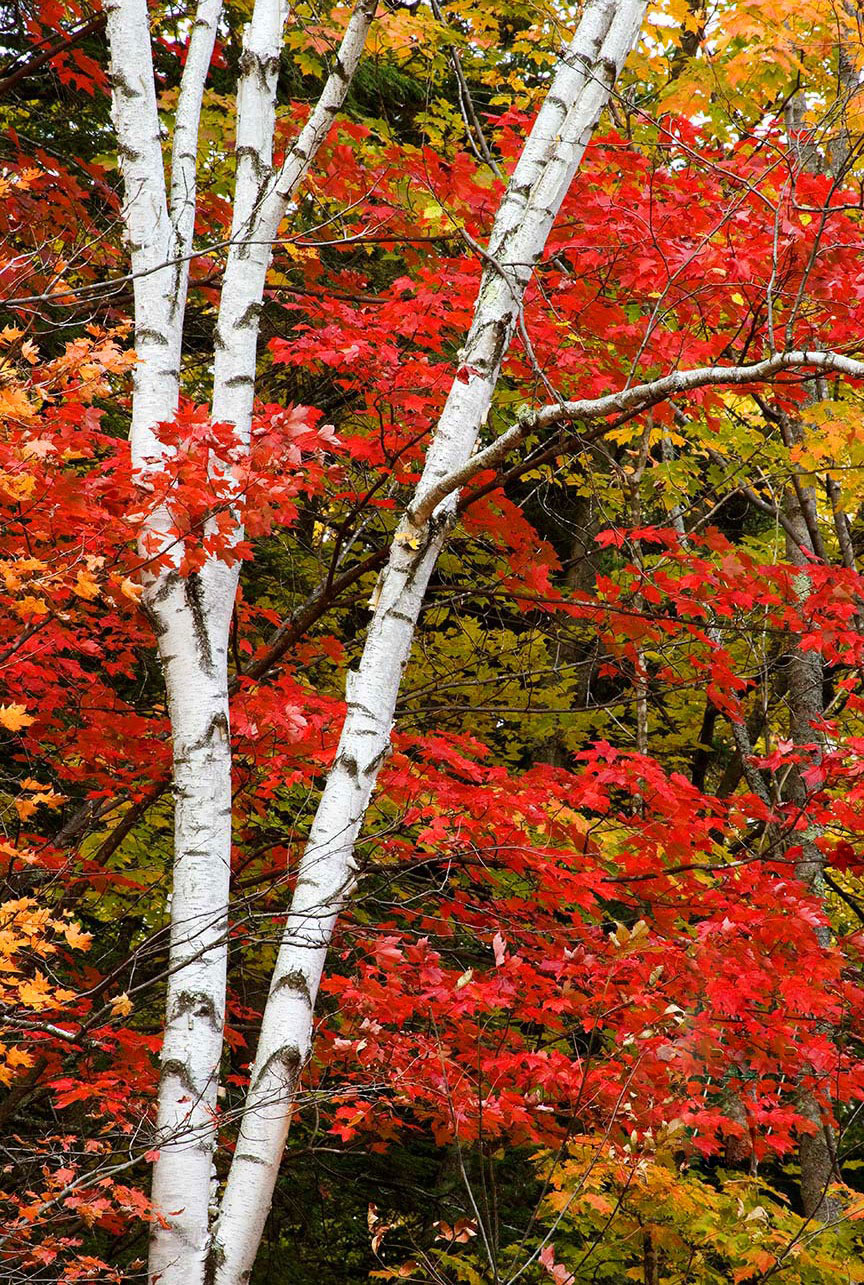 White Birch Trunks and red Maple leaves, along the Swift River in New Hampshire.  One of the best of our 22 favorite landscape images.