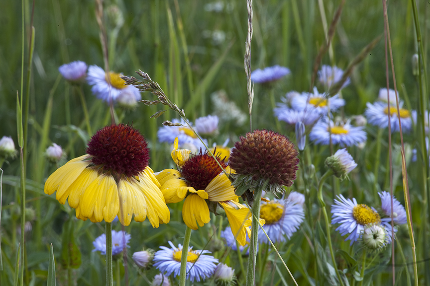 Rudbeckia and showy daisies in Glacier National Park