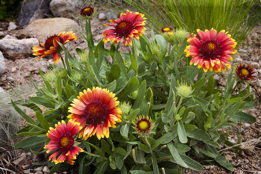 Blanket flowers in New Mexico