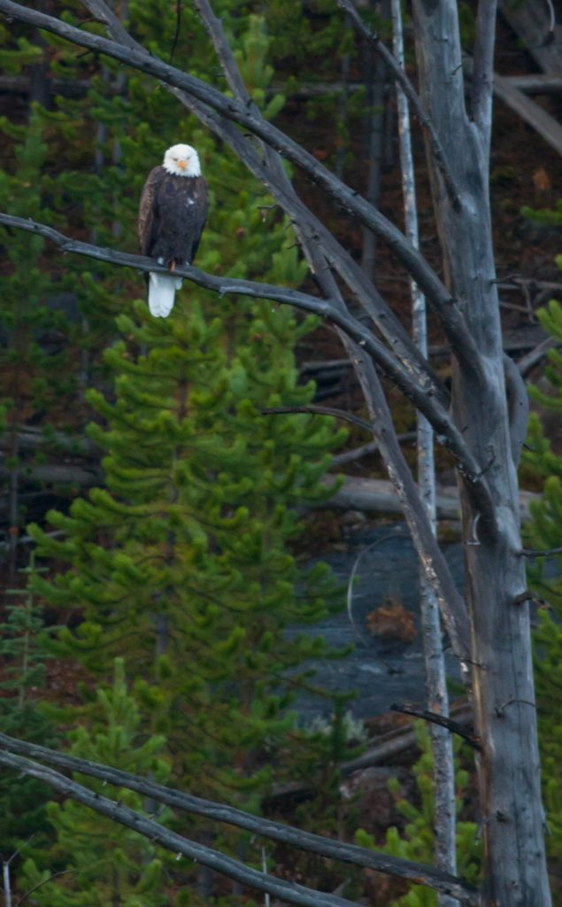 Bald eagle in Yellowstone.  Eagles and wolves and elk and beaver are enmeshed in a complex ecosystem. Climate change is complex also.