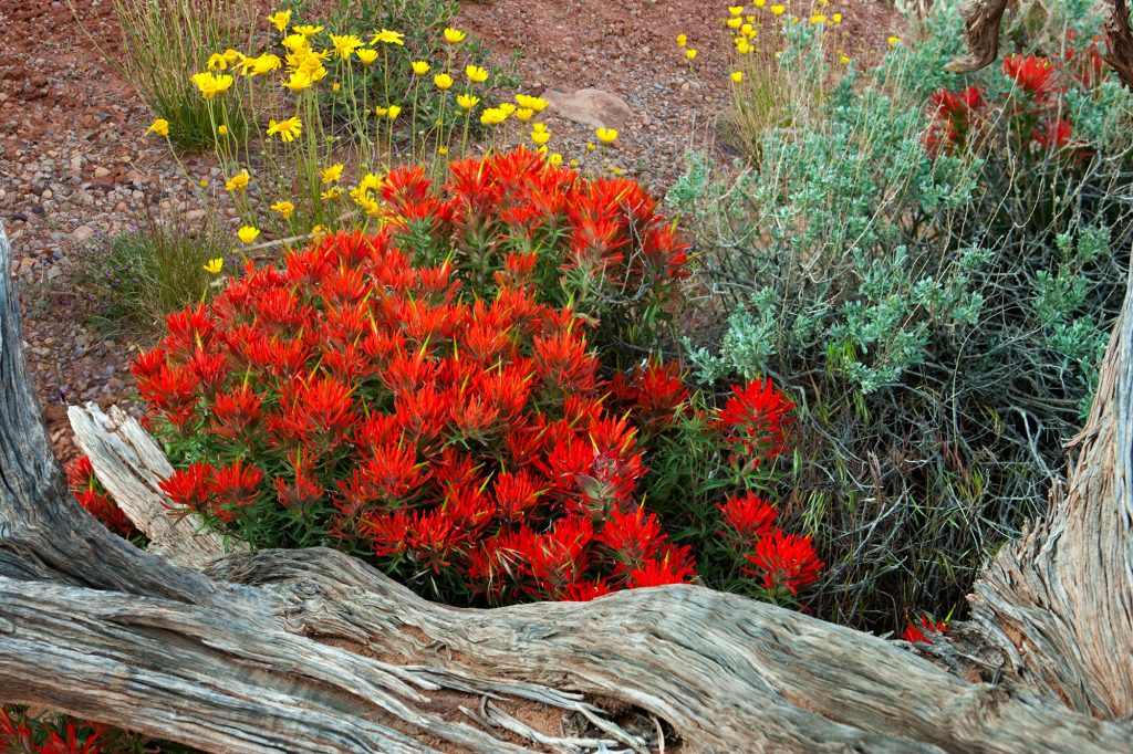 Desert Paintbrush in Arches National Park. It is almost impossible to realize that we may be approaching The end of birds, butterflies and wildflowers.