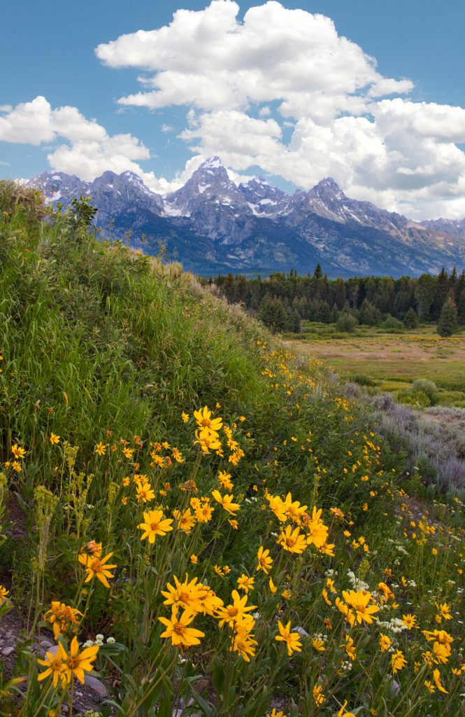 Wildflowers and the Tetons in Wyoming.  Scenes like this seem a long way from worrying about can the Democrats win the 2020 election