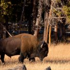 The End of the Bison on the Great Plains