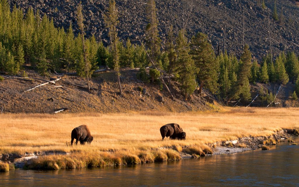 Buffalo along the Madison River in Yellowstone National Park.  The End of the Bison on the Great Plains luckily didn't wipe out all buffalo down to the very last one.  Enough survived to generate the current Yellowstone herd.