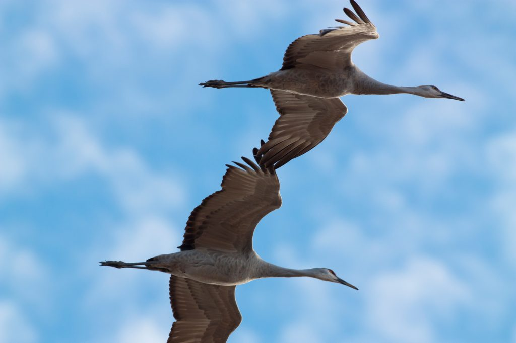 Sand Hill Cranes in Bosque del Apache in New Mexico.  Sand hill cranes are a good example of a species that almost went extinct. Much Wildlife are going extinct