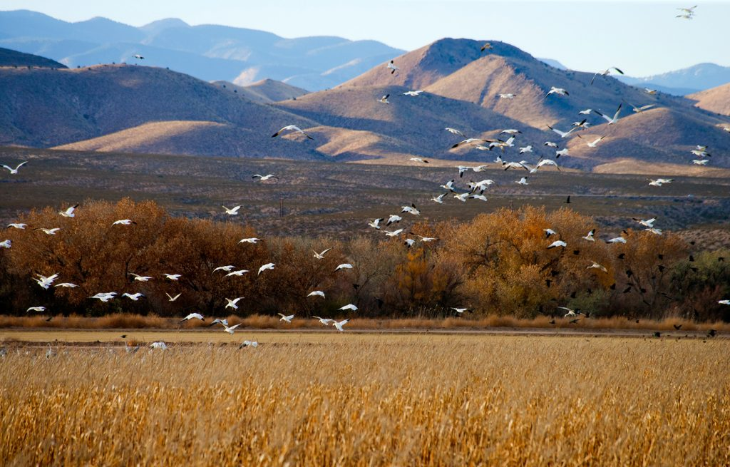 Snow Geese in Apache del Bosque in New Mexico