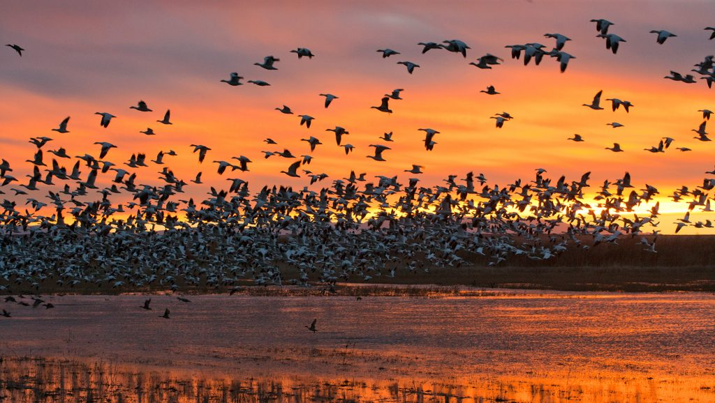 The dawn lift-off at Bosque del Apache in New Mexico.  This is an impressive event.  Every bird on the lake lifts off at the same moment in an absolutely thundering roar of wings.  This is one of the few events that give a small understanding of what the fecundity of wildlife once was all over the world.