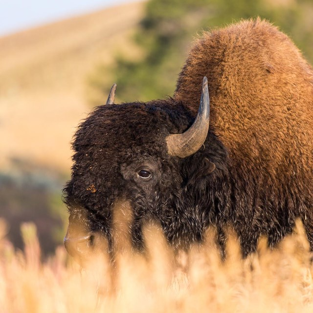 Most Buffalo, like this one are in Yellowsrtone these days.