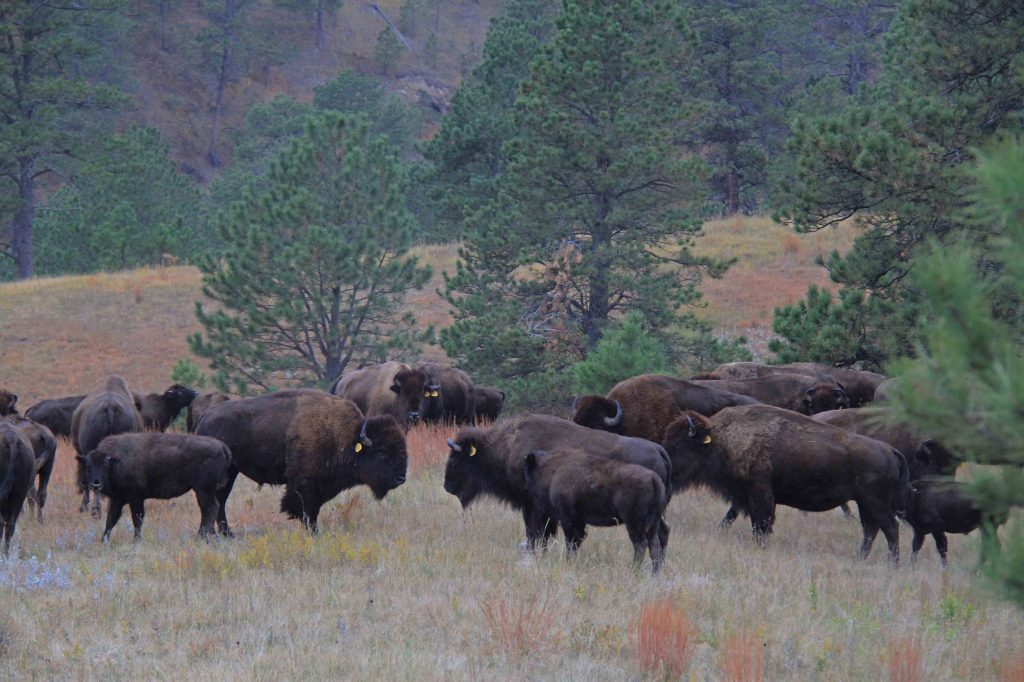 Buffalo herd in Yellowstone high country.  The End of the Bison on the Great Plains luckily didn't wipe out all buffalo down to the very last one.  Enough survived to generate the current Yellowstone herd.
