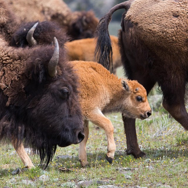 Plenty of new Buffalo  calfs are born every year in Yellowstone.  The End of the Bison on the Great Plains luckily didn't wipe out all buffalo down to the very last one.  Enough survived to generate the current Yellowstone herd.