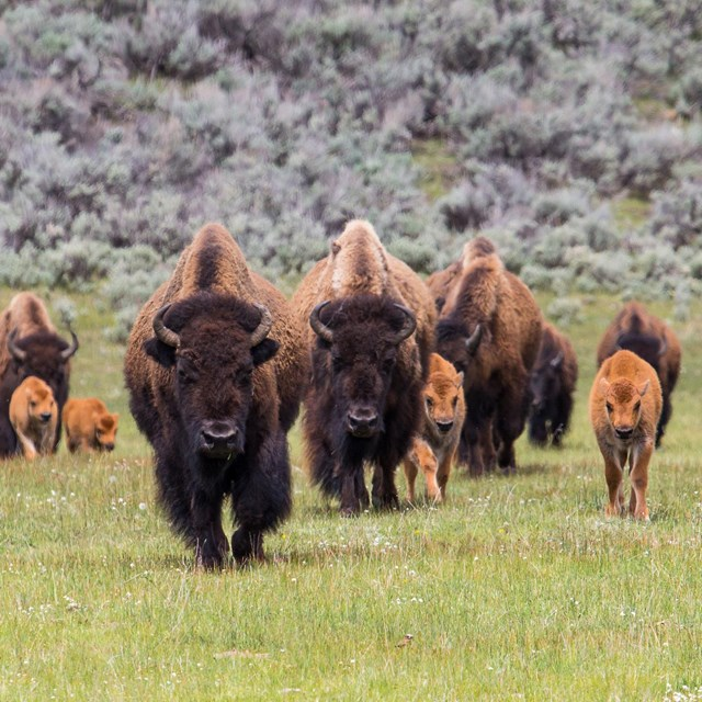 Yellowstone Buffalo herd with calves.  The End of the Bison on the Great Plains luckily didn't wipe out all buffalo down to the very last one.  Enough survived to generate the current Yellowstone herd.