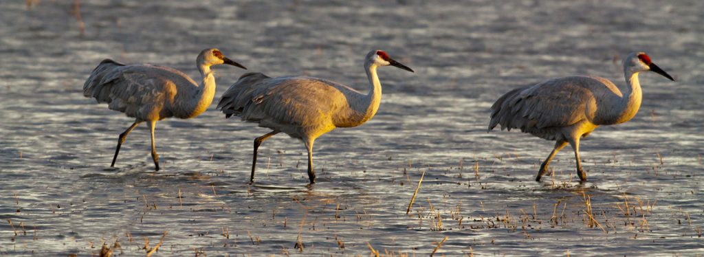 More Sand Hill Cranes in Bosque del Apache Wildlife Refuge.   And corporate polluters now run our environmental protection agencies.