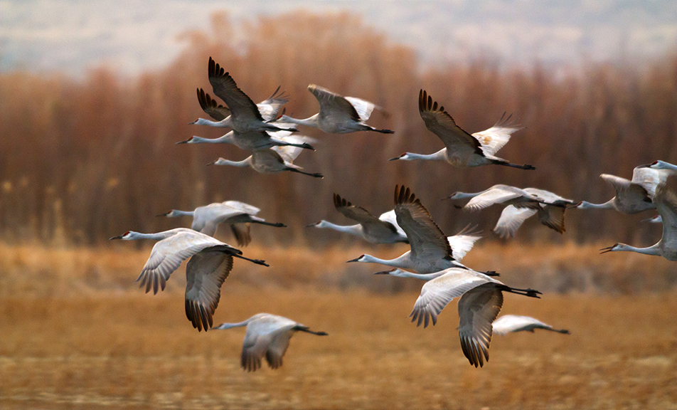 Sand Hill Cranes in Bosque del Apache Wildlife Refuge.   And corporate polluters now run our environmental protection agencies.