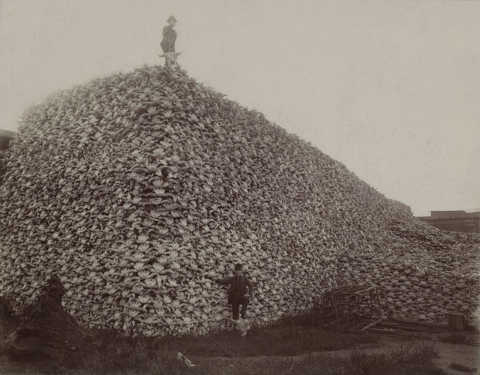 A pile of buffalo skulls in the mid 1870s waiting to be ground up into fertilizer.  That pile was once a pretty good sized buffalo herd all by itself.   The End of the Bison on the Great Plains luckily didn't wipe out all buffalo down to the very last one.  Enough survived to generate the current Yellowstone herd.