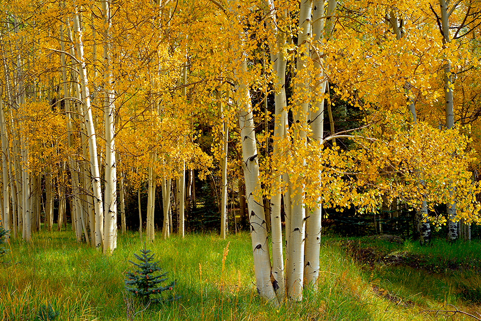 Aspens on Poncha Pass Colorado, near Salida.  CO2 is at record high despite everything.  If this continues,  places like this will soon be gone.