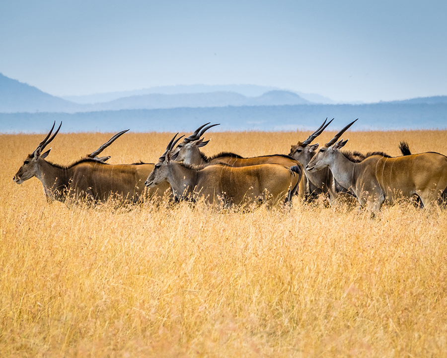 Herd of African antelope.  All of this wildlife above will be some of the early victims of global warming.