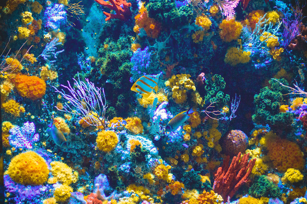 One of the worlds still healthy coral reefs.  Unfortunately not many still look like this.  Bleached reefs are almost entirely white and the Great Barrier Reef shows more bleaching.