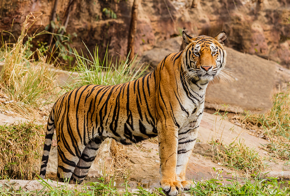 Bengal Tiger.  Almost all the recent, major, human epidemics were viral spillovers from wild animals to humans.  Because scientist were aware of this, scientists predicted the corona pandemic.  The animal in this picture is not likely candidates for spillover though.