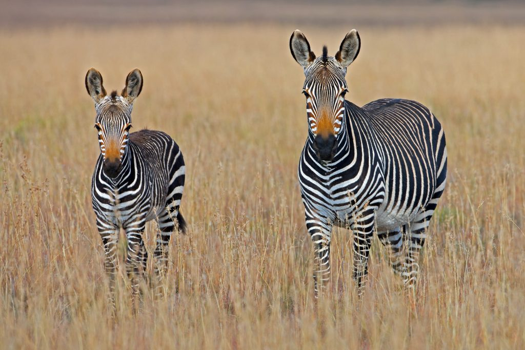 Zebra's on the African plains.  Almost all the recent, major, human epidemics were viral spillovers from wild animals to humans.  Because scientist were aware of this, scientists predicted the corona pandemic.  The animal in this picture is not likely candidates for spillover though.