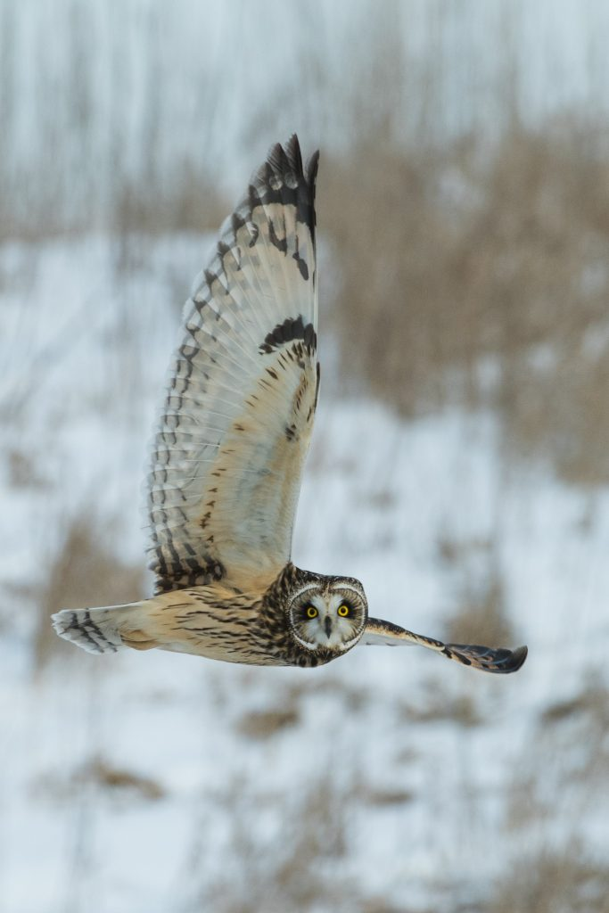 Owl flying in wintery forest.  The IPCC says we have only 20 years left if we want to save animals like this.