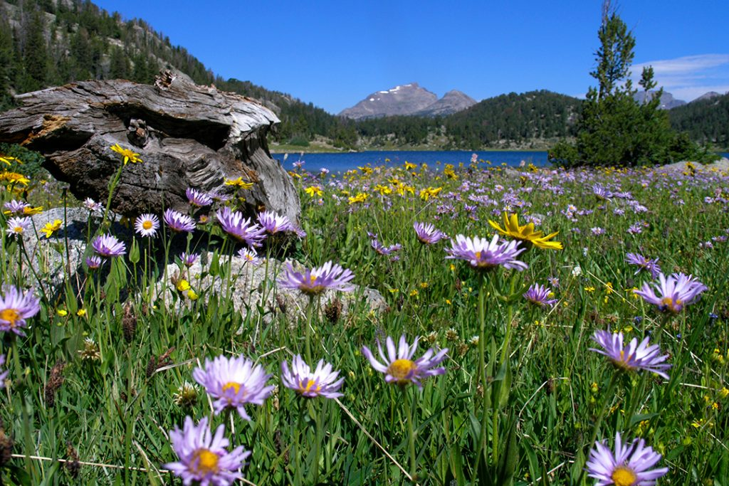 Showy Daisies and Marmes Lake in the Wind Rivers of Wyoming.  Republicans are gaming the pandemic.  If they can't be stopped, many fewer Americans will live to visit beautiful places like this one.