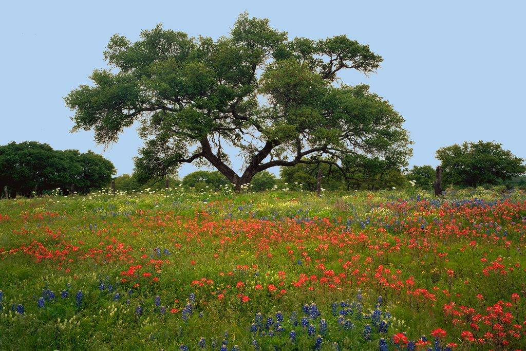 Classic oak tree in Hill Country Texas.   Many now think America is now moving confidently & proudly Into mass death?    What a tragedy that this is happening in a country so full of beautiful places like this.