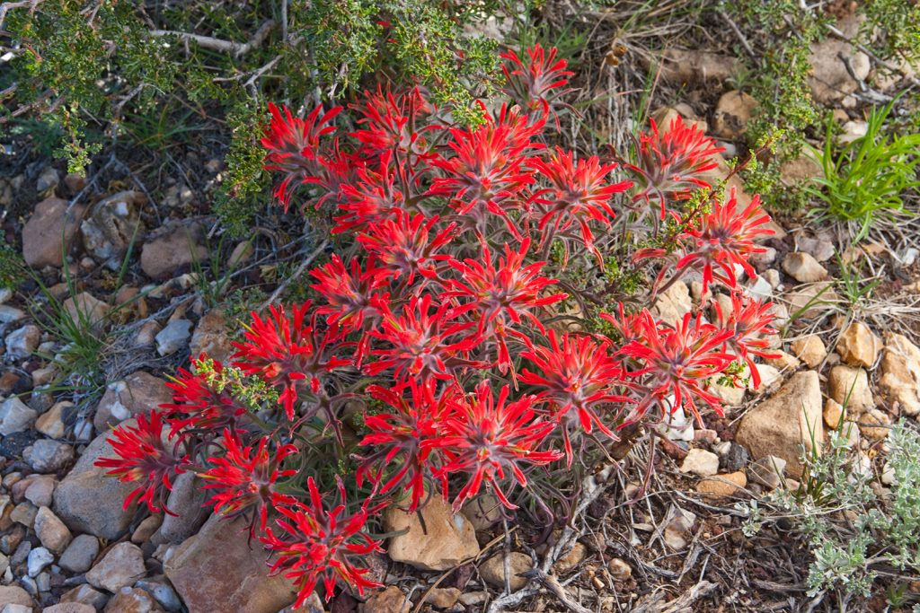 Desert Paintbrush in the Grand Canyon in Arizona.  The fact that the Covid-19 pandemic is getting scarier and scarier seems almost incompatible with the remaining beauty of the natural world.