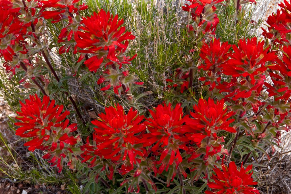 Indain Paintbrush near the Pariah River in Arizona.  This is a long way from the politics of William Barr, Trump's Chief Enabler.  At least there are a few things in American more honest and than Trump and Barr.