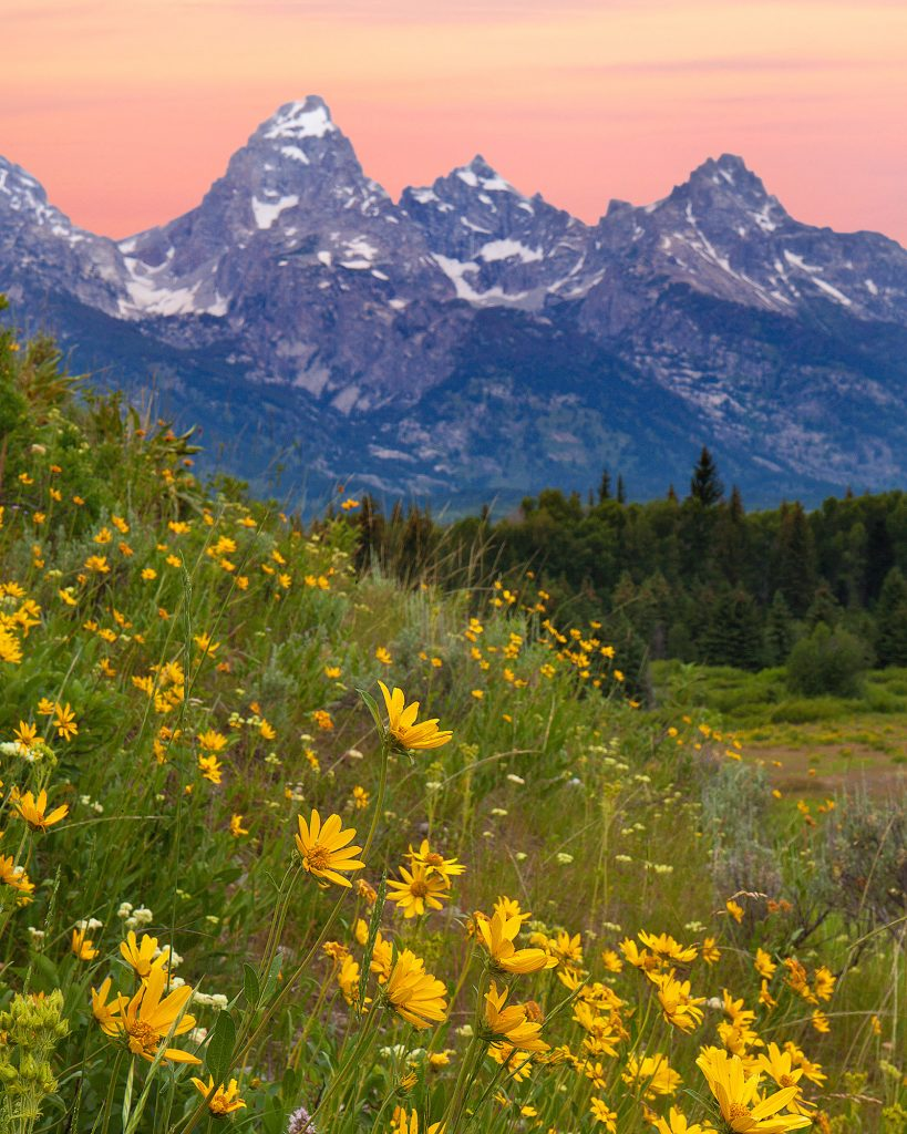 Wildflower covered Hillside at Dawn in the Tetons.  The fact that the Covid-19 pandemic is getting scarier and scarier seems almost incompatible with the remaining beauty of the natural world.