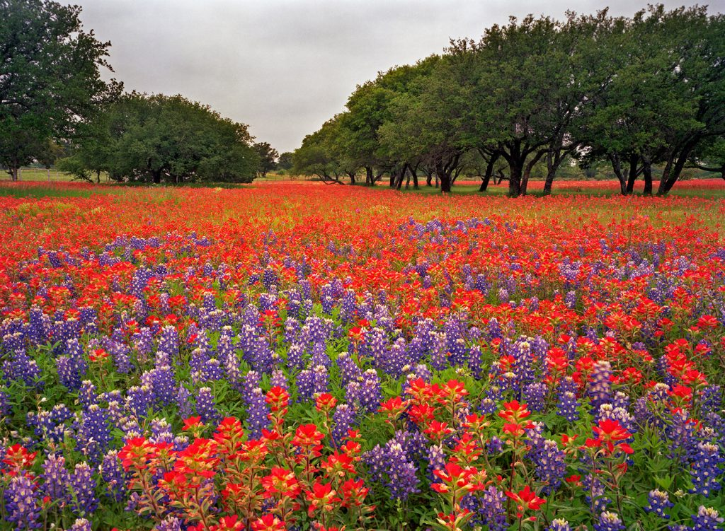 A sea of flowers and walnut trees in hill-county Texas.  De-Forestation is Soaring in Brazil but luckily there are still a few places where nature is not in nearly so bad a place.